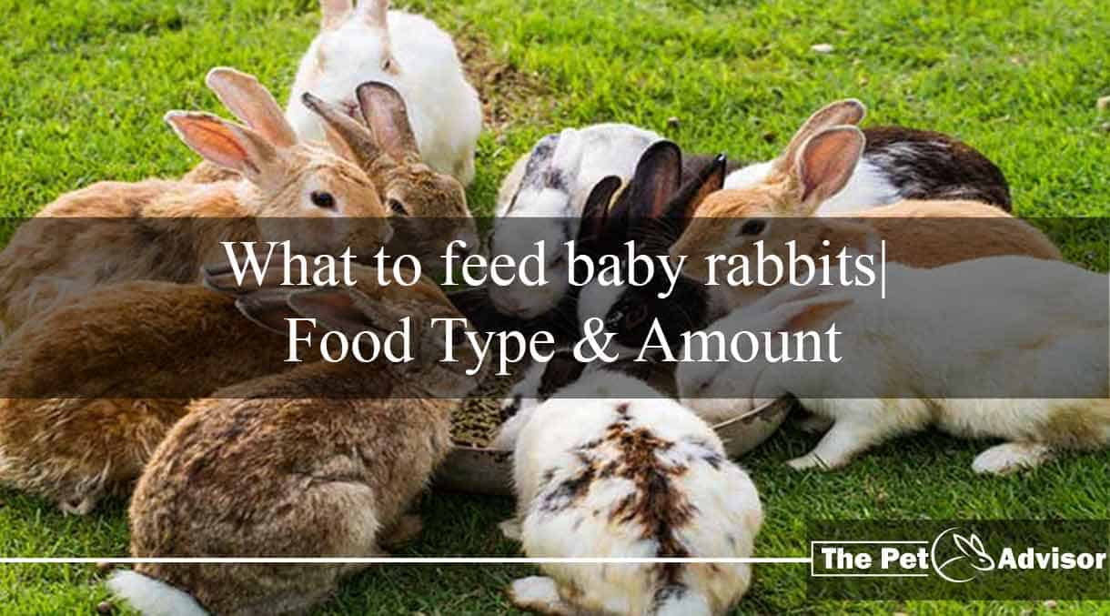 What to feed baby rabbits