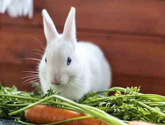 Are Rabbit Good Pets? Rabbit As Pets Pros and Cons- The Pets