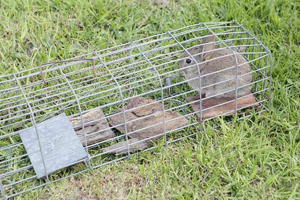 Best Rabbit trap