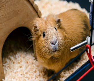 How Long Does a Guinea Pig Live | Guinea Pig Life Span - The