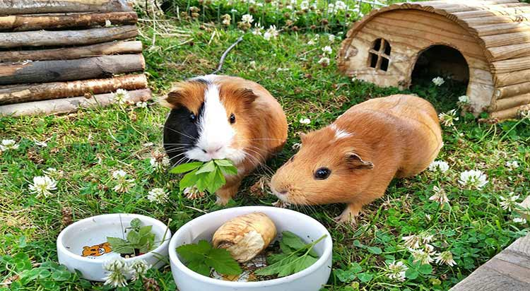 best Guinea Pig food