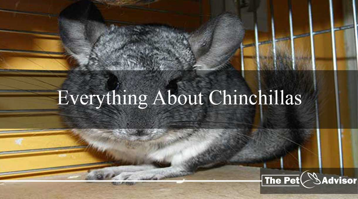 Everything About Chinchillas