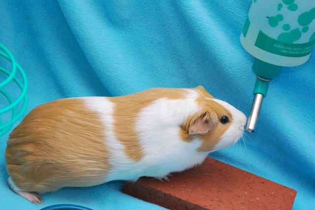 Best Water Bottle for Guinea Pig