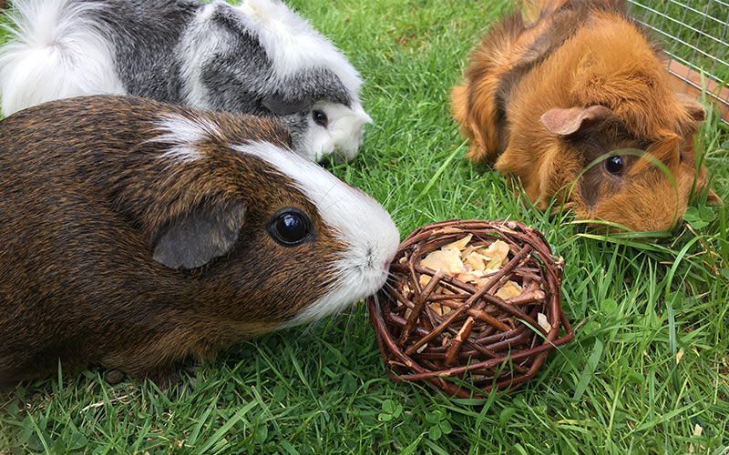 Best Guinea Pig Toys