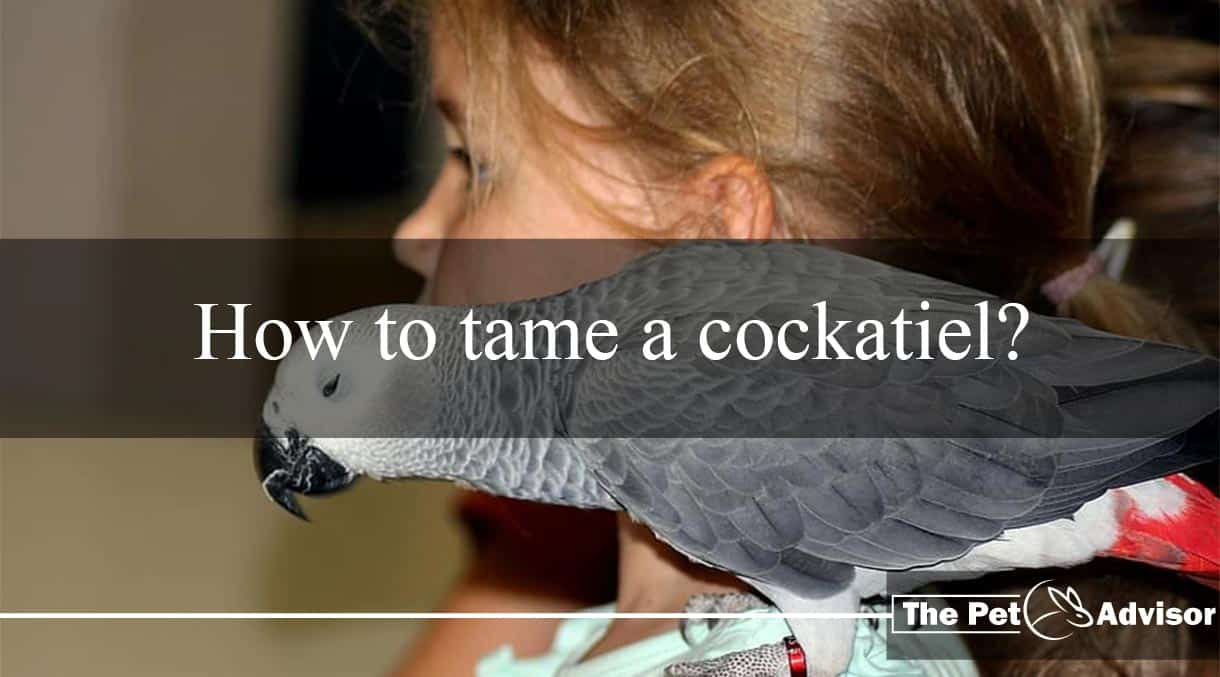 How to tame a cockatiel