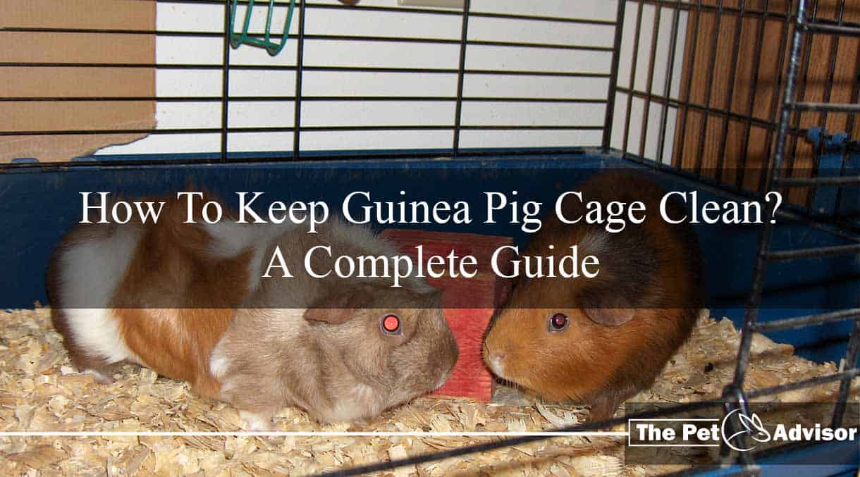 How To Keep Guinea Pig Cage Clean