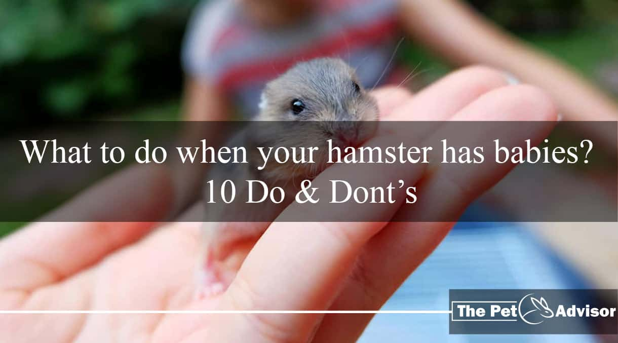 What to do when your hamster has babies