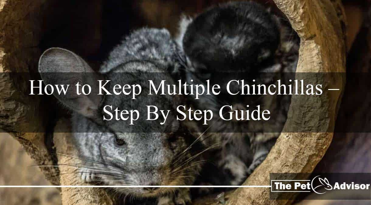 How to Keep Multiple Chinchillas