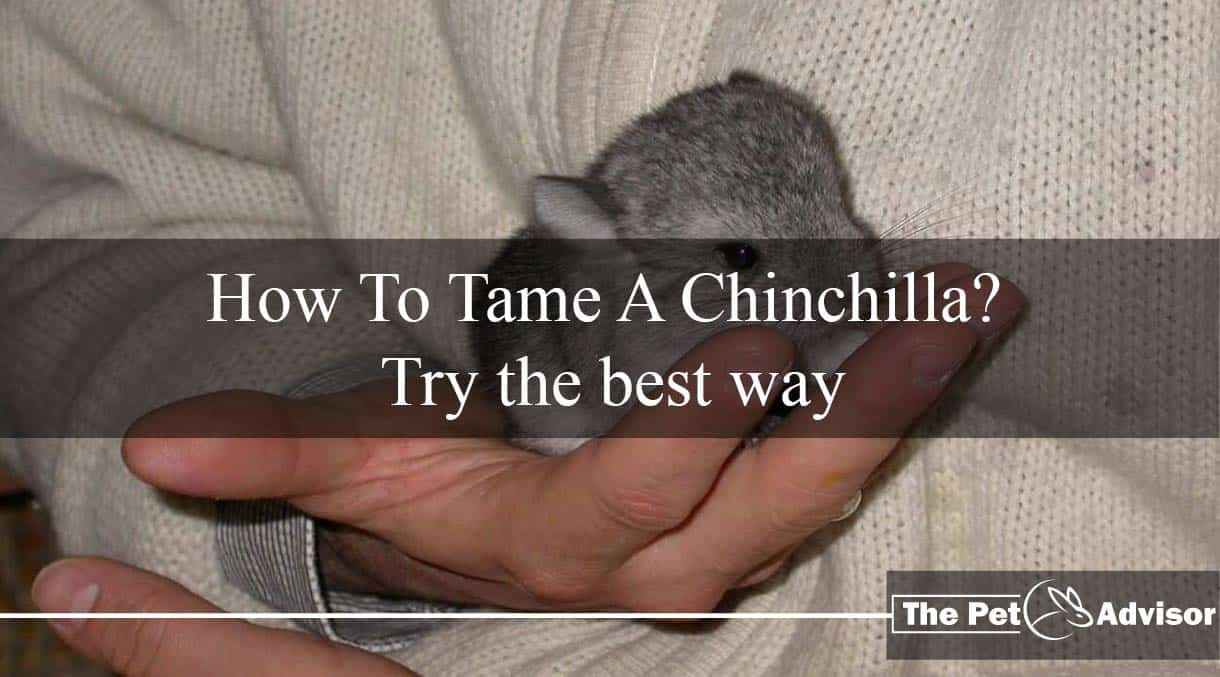 How To Tame A Chinchilla